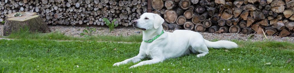Labrador Retriever Labrador Vom Goldsteig Weisse Labrador Welpen