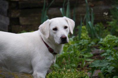 Mein Mädl - Nandu weißer Labrador in Bayern