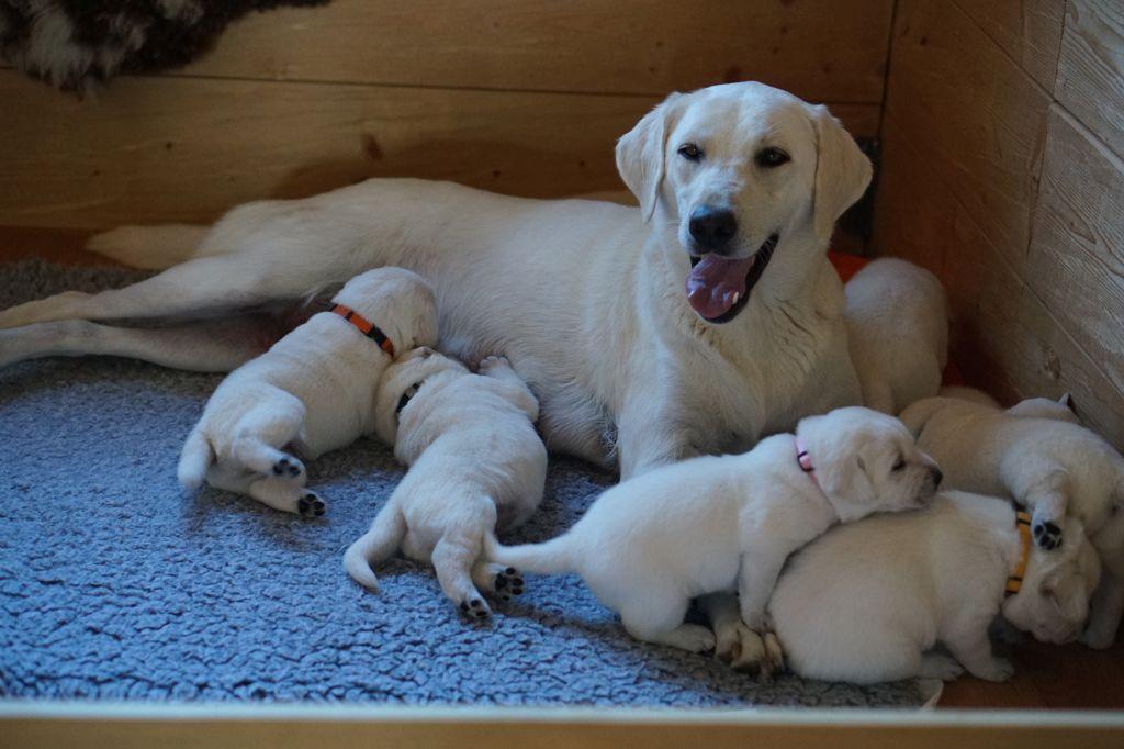 Wei 223 E Labrador Welpen Bilder Labrador Vom Goldsteig Wei 223 E Labrador Welpen Labrador Vom